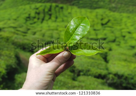 Hand from a women to hold tea leafs in background from the tea plantation. #121310836