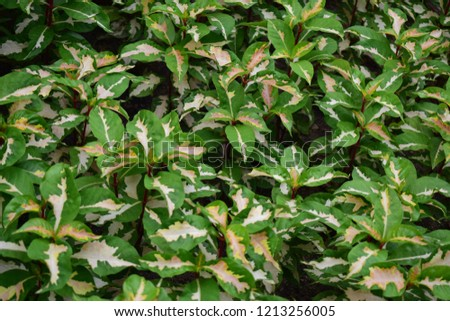 close up to the bush of Pseuderanthemum atropurpureum those have two colors per one leaf. #1213256005