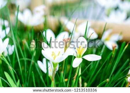 Close up white crocuses growing in the spring garden, white flower  #1213510336