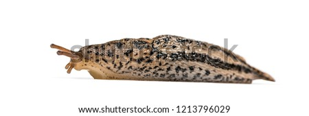 Limax maximus, literally, 'biggest slug', known by the common names great grey slug and leopard slug, in front of white background Royalty-Free Stock Photo #1213796029