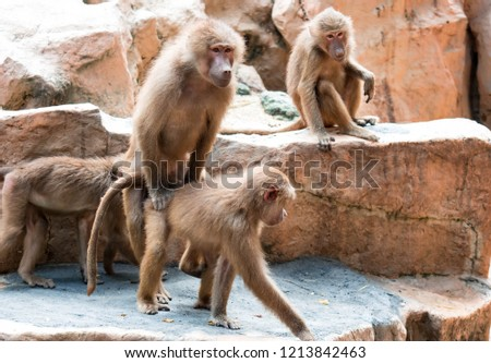 A couple of hamadryas baboon while making out. Mating of baboons in a zoo. Sex in the animal kingdom #1213842463