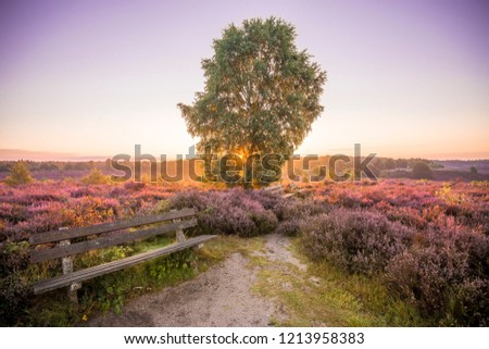 Colourful sunrise heather landscape with sun rays shining through the branches of a tree located in the middle of a purple heather field  with a bench at the National Park Hoge Veluwe, Netherlands  #1213958383
