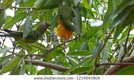 Couple of wild dusky headed parakeets eating a mango in the tree. #1214045806