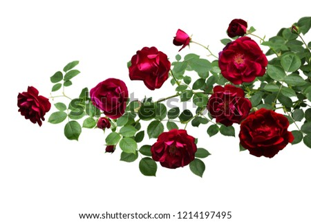 Branch of rose flowers in the garden isolated on white background #1214197495