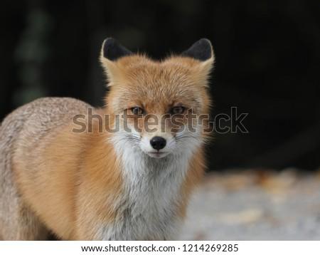 wild fox (Vulpes vulpes) #1214269285