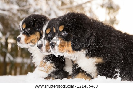 Tireless bernese mountain dog puppets ready play game