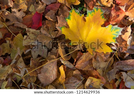 Yellow autumn maple leaf isolated on a color background. #1214629936