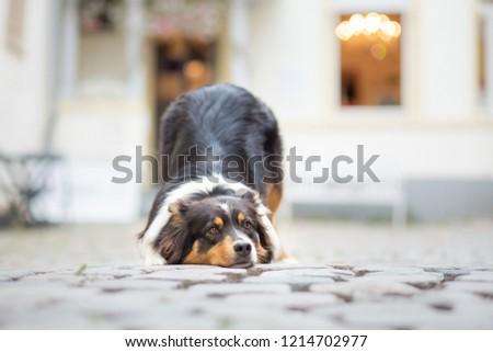 Australian shepherd in the city doing tricks #1214702977