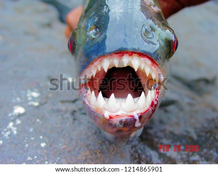Amazon Black Piranha with exposed teeth front
