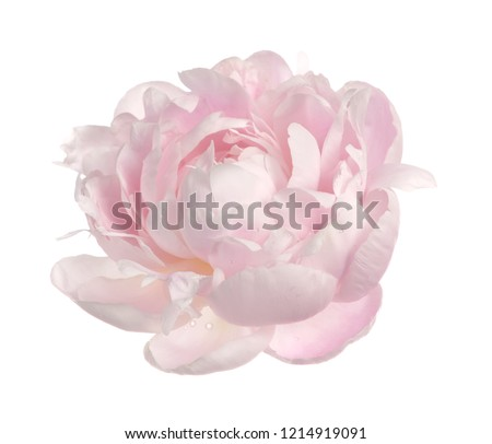 pink peony isolate on white