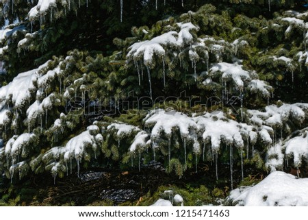 Icicles Hanging From Spruce Tree for Background #1215471463