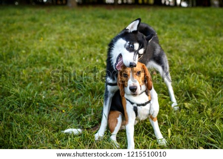 funny dog husky and beagle dog playing on the grass in the park on a summer afternoon #1215510010