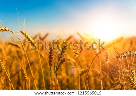 wheat harvest, wheat field on the background of blue sky in the sun.  agriculture. #1215565015