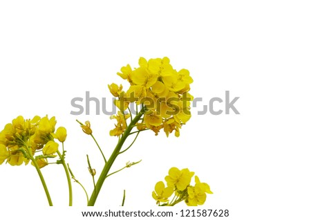 flowers of canolas #121587628