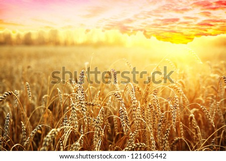 ripening ears of wheat field on the background of the setting sun #121605442