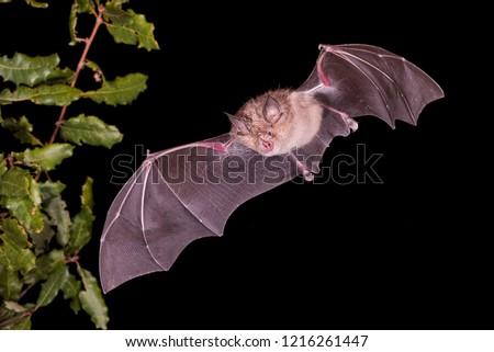 Greater Horseshoe Bat #1216261447