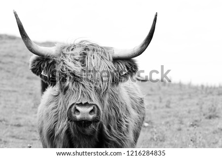 highland cattle closeup Royalty-Free Stock Photo #1216284835