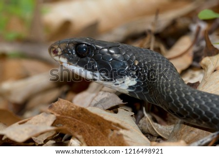 Portrait of a recently emerged Eastern Racer snake basking in the forest leaf litter #1216498921