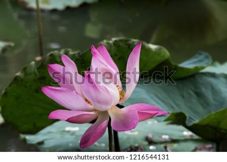 Blooming Lotus Flower. Water Lily. #1216544131