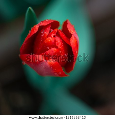 Red Tulip in macro #1216568413