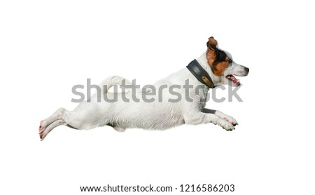 Jack russell terrier in jump isolated over a white. Pet the domestic animal theme. Isolations of animals #1216586203