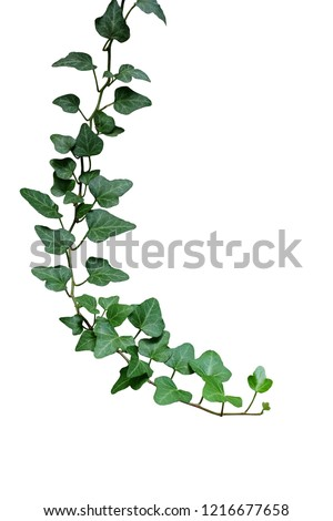 Green leaves ivy climbing vine plant, hanging branch of potted ivy indoor houseplant isolated on white background with clipping path. #1216677658