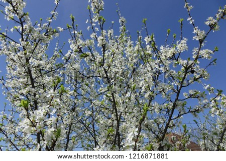 Blooming cherry tree with white flowers in spring. Springtime. Sunny day #1216871881