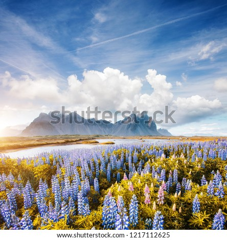 Splendid view of perfect lupine flowers on sunny day. Location Stokksnes cape, Vestrahorn (Batman Mount), Iceland, Europe. Scenic image of amazing nature landscape. Discover the beauty of earth. #1217112625