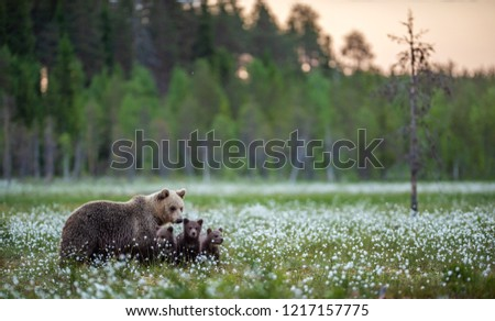 She-bear and bear cubs in the summer forest on the bog among white flowers. Natural Habitat. Brown bear, scientific name: Ursus arctos. Summer season. #1217157775