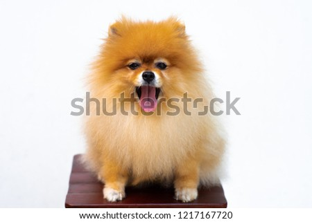 Portrait of puppy pomeranian with tongue out and isolated background #1217167720
