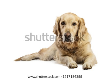 Beautiful Golden Retriever model white background. Dog with captivating and smiling relaxed look in the studio #1217184355