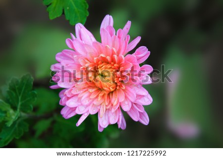 Background with colorful aster flower. Bright Aster in the summer garden. Pink Aster blooming in the flower garden. Large alpine aster growing in the flower bed #1217225992