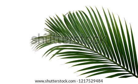 Green leaves of nipa palm or mangrove palm (Nypa fruticans) tropical evergreen plant isolated on white background, clipping path included. #1217529484