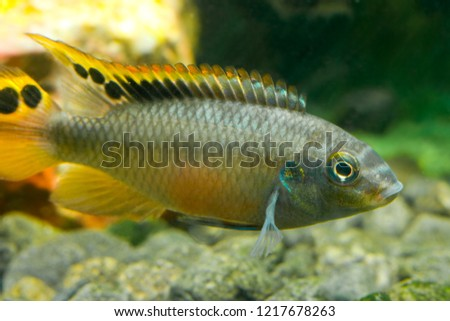 Beautiful aquarium fish underwater. #1217678263