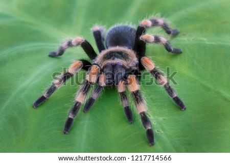 Mexican Redknee Tarantula (Brachypelma hamorii) on Plant