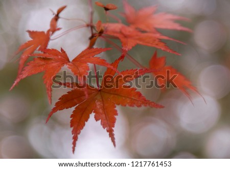 Red leaves from Japanese maple tree. #1217761453