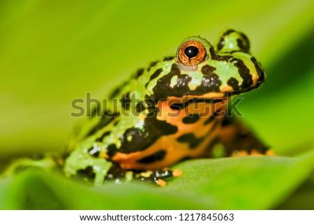 Frog Oriental fire-bellied toad (Bombina orientalis) sitting on a green leaf #1217845063
