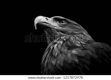 Close-up portrait of a Golden eagle (Aquila chrysaetos) in black and white. Bird of prey head isolated on black background.