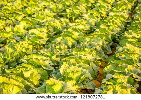 Cabbage field. Cabbage crop, agriculture and raw food. Growing vegetables. #1218072781