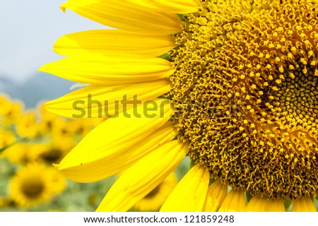 Sun flower #121859248