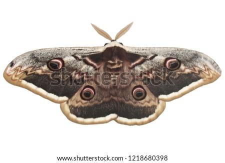 Saturnia pyri, the giant peacock moth, also called the great peacock moth, giant emperor moth, or Viennese emperor on white background. It is the largest European moth. Ilindentsi, Bulgaria-April 2005 #1218680398