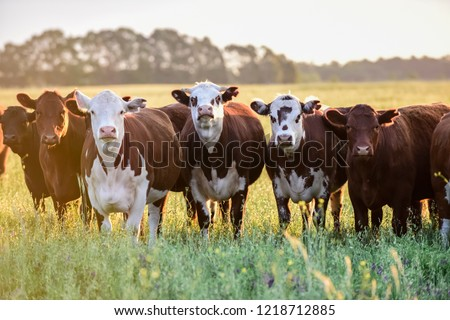 Cows at sunset in La Pampa, Argentina Royalty-Free Stock Photo #1218712885