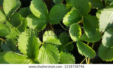 Adas leaves in the morning. This is one of type of herbs.  #1218758746
