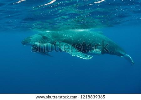 Humpback Whales pacific Ocean #1218839365