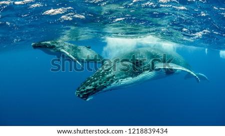 Humpback Whales pacific Ocean #1218839434