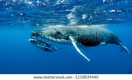 Humpback Whales pacific Ocean #1218839440