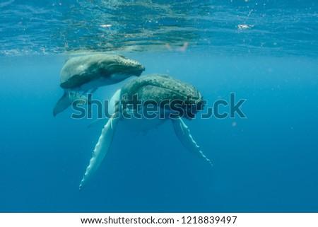 Humpback Whales pacific Ocean #1218839497
