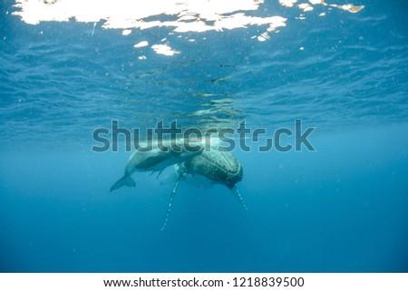 Humpback Whales pacific Ocean #1218839500