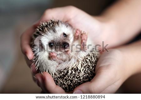Cute african hedgehog on baby palms #1218880894