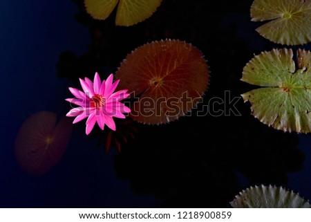 Lotus flower in pond. Pink lotus with leaves on dark water.  #1218900859
